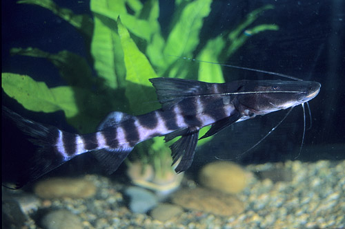 Juruense catfish